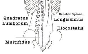 yoga anatomie van de rug