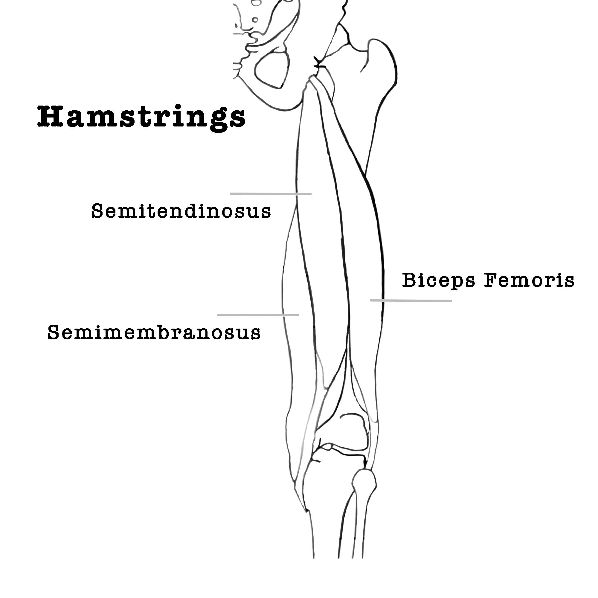 yoga anatomie hamstrings onderrug
