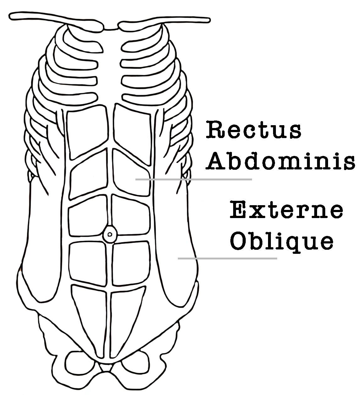 rectus abdominis yoga anatomie